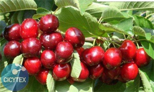 Cereza 4-84, variedad de cerezo 4-84, cereza de maduración media