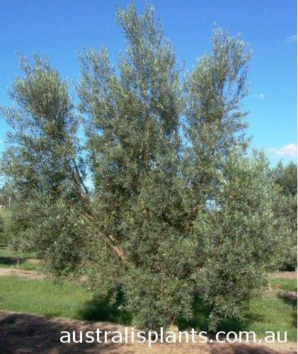 Olivo hojiblanca, plantón de olivo Hojiblanca