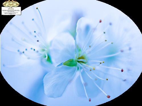 tubes_fleurs_tiram_643