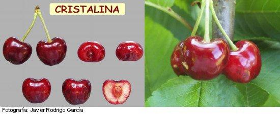 cerezo Cristalina, variedad de cereza Cristalina, cereza media estación