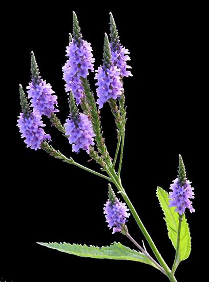 tubes_fleurs_tiram_175
