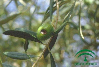Sphaeropsis dalmatica, olive fruit rot