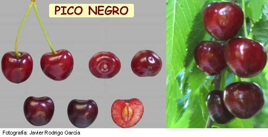 Pico Negro, Cereza Picota, Picota del Jerte, maduración muy tardía