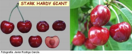 cerezo Starking, variedad de cereza media estación Stark Hardy Giant