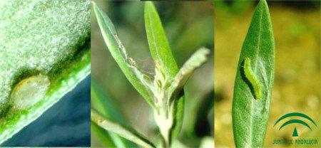 Larva de Glifodes alimentándose, foto Glifodes