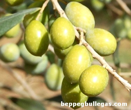 Pizz'e Carroga olive tree
