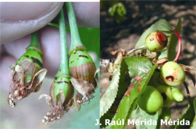 Screening or perdigonada in cherry tree