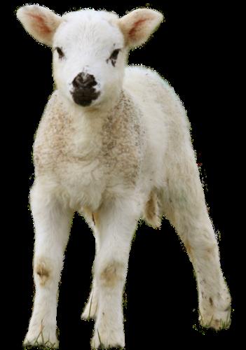 mouton_tiram_10