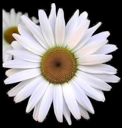 tubes_fleurs_tiram_807
