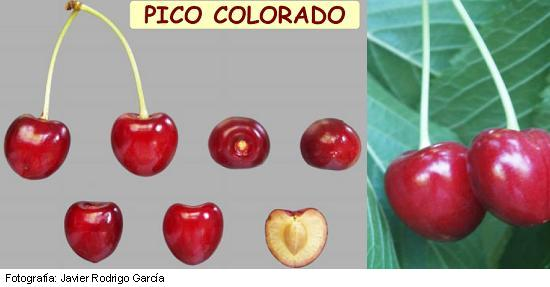 Cherry of the Jerte, very late variety, Pico Colorado cherry