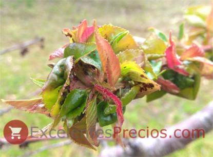 Pulgón del cerezo:, infección pulgón, tratamiento necesario, pulgón en cerezo