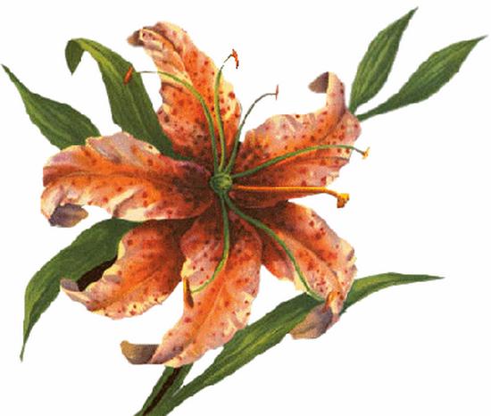 tubes_fleurs_tiram_528