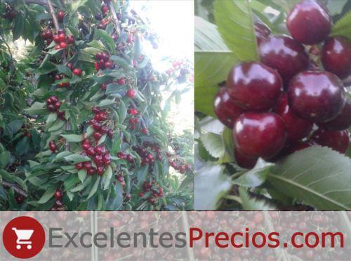 Árbol cereza Celeste, producción cerezo celeste, kg/ha