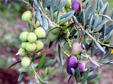 Itrana olive tree, Italian olive photo