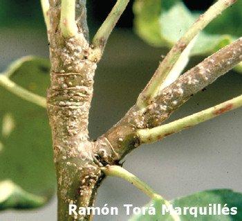 San José louse (Quadraspidiotus perniciosus) ) on branch