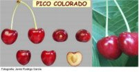 Tipos de cereza: Pico colorado