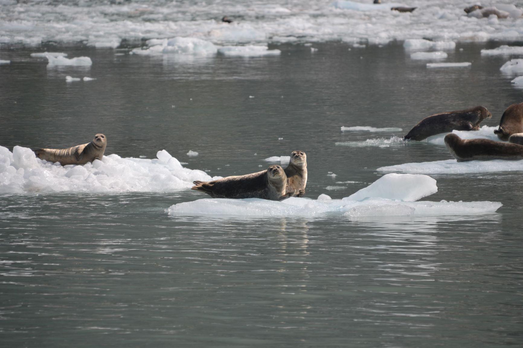 Harbor_Seals_NW_Glacier.jpg