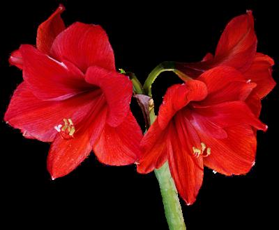 tubes_fleurs_tiram_853