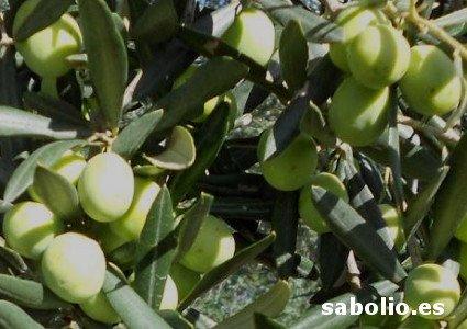 Cucco olive tree, Cucco olives