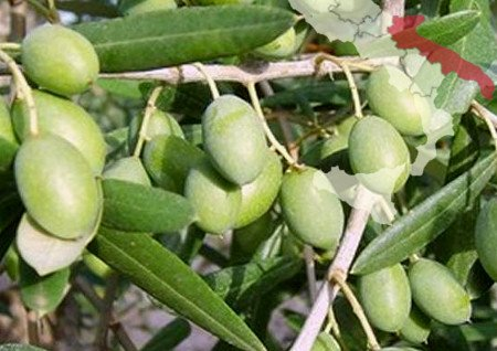 Italian olive tree Ogliarola Barese (Apulia)
