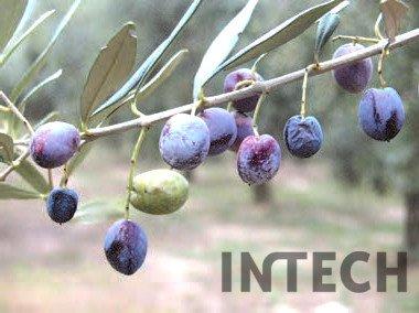 variedad italiana de olivo, umbría, olivo Dolce Agogia