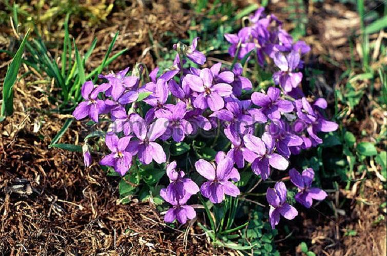Bar lunge Botany_viola_species_hairy_violet_viola_silvestris_on_woodground_violaceae_a3x58h