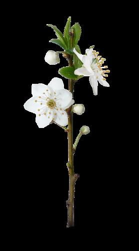 fleurs_paques_tiram_35