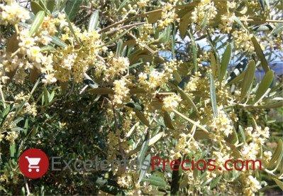 floración del olivo, olivo en flor, flor del olivo