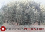 Olivo Verdial de Badajoz, olivar centenario