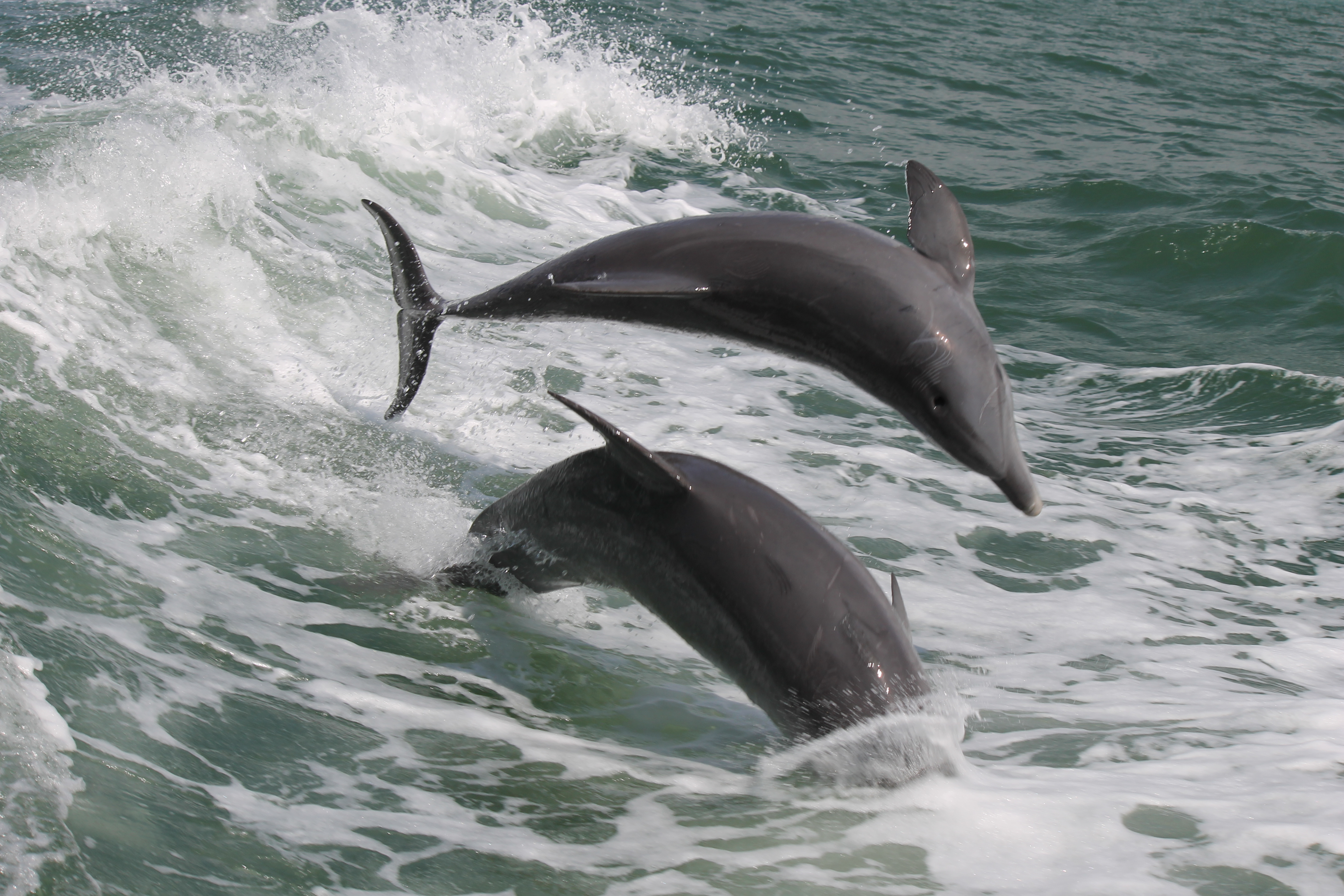 Dolphins Clearwater