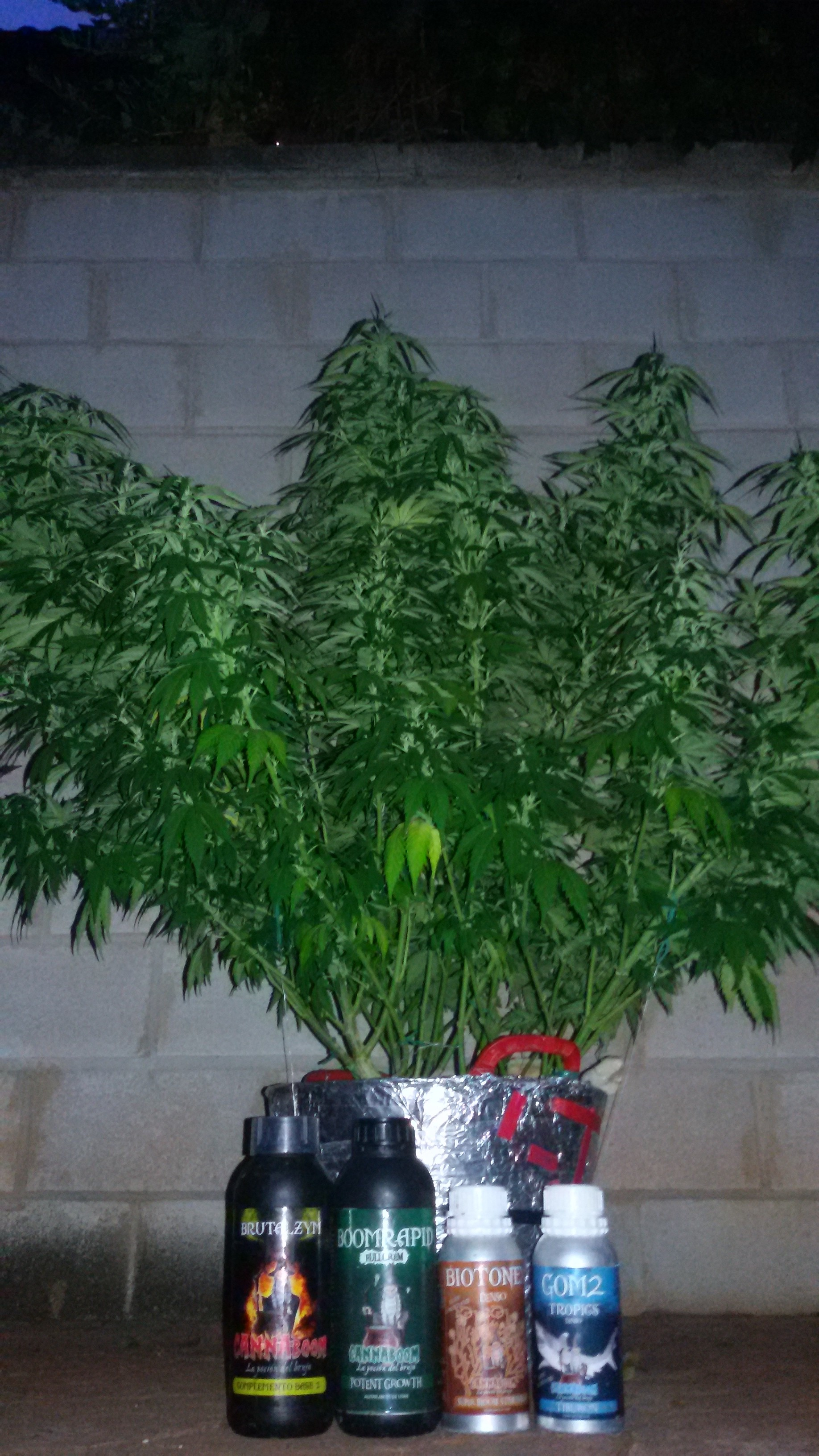 El Brujo a Latigazos ...(Sweet Seeds)+(CannaBooM)(2018) 20180730_215601