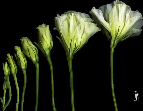 tubes_fleurs_tiram_410