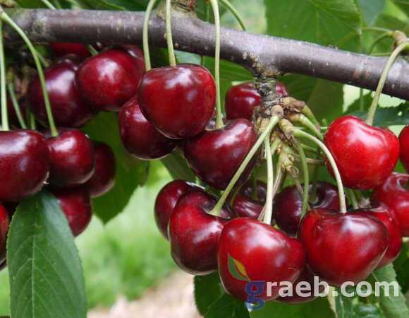 Carmen cherry, variety of cherry Carmen, cherry of early maturation