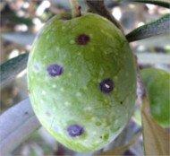 Cochinilla violeta o Parlatoria oleae sobre aceituna, aceituna con cohinilla violeta