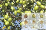 The table olive Manzanilla Sevillana, is the most consumed table olive variety in the world