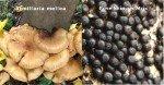 Asfixia radicular del olivo, hongos en el tronco del olivo