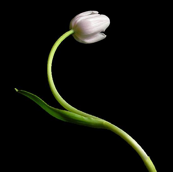 tubes_fleurs_tiram_502