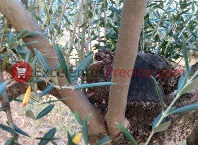 Ramas de olivos jóvenes, mantener los olivos centenarios jóvenes