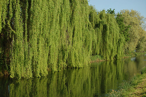 The willow tree beside a river.