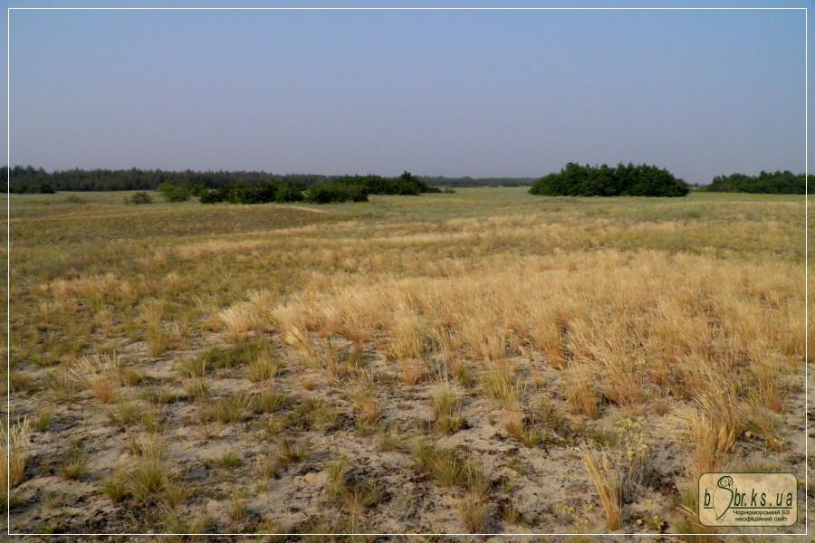 Збур'ївська арена. Булавоносець сіруватий (на світлині — жовтого кольору) поступово витісняє аборигенні рослини піщаного степу