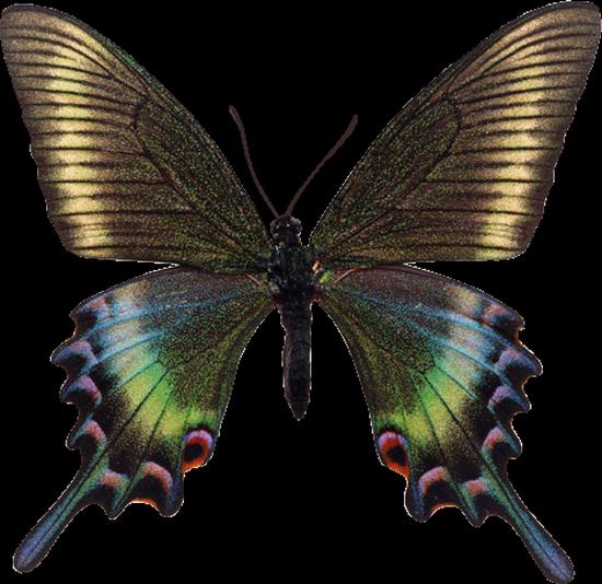 tubes_papillon_tiram_542