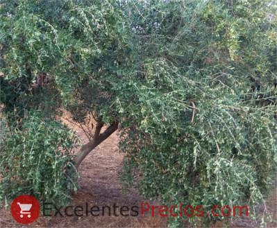 Olive harvest forecast, olive tree loaded with olives, olive photo