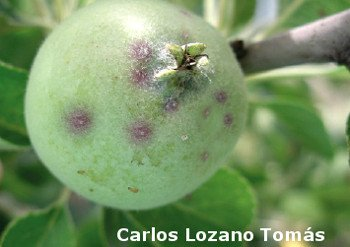 Apple damaged by San José louse