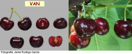 cerezo van cerezas maduras, cerezas buenas de sabor