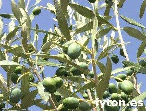 Variedad de aceituna Frangivento (Cipressino)