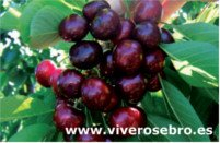 Cherry types: Frisco