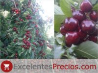 Types of cherry: Celeste