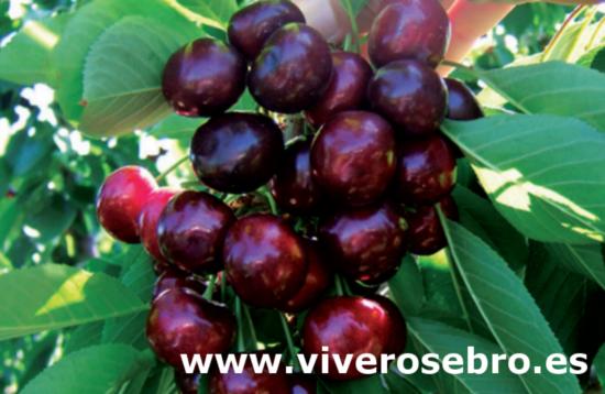 Cerezo Frisco, variedad de cereza Frisco, cereza de maduración temprana, cereza de buen sabor