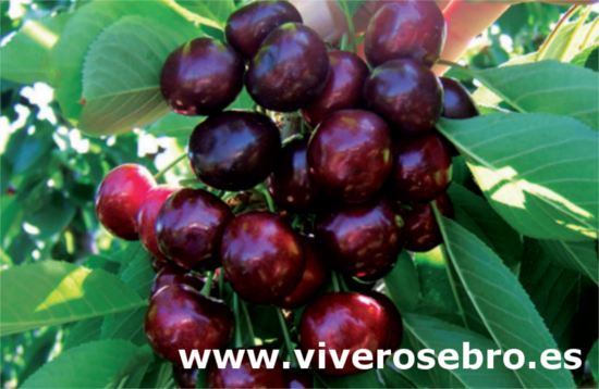 Cerezo Frisco, variety of cherry Frisco, cherry of early maturation