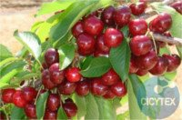 Types of cherry: Grace Star